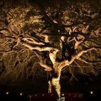 Pat's oak